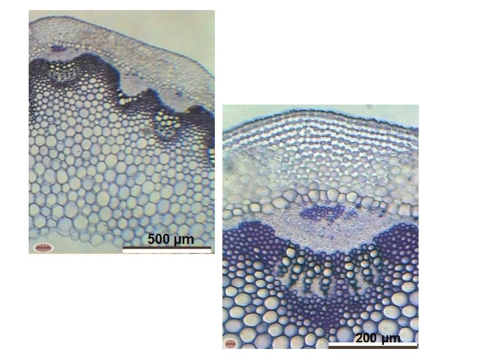 Estructura primaria de tallo - Anatomía de Espermatófitas